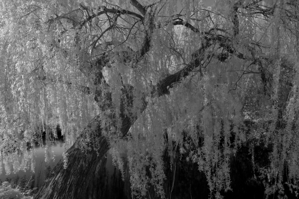 Willow by River Colne.jpg